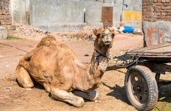 与推车等待的工作的独峰驼 Patan,印度 免版税库存图片