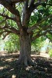 与提供树荫的分支的老树为在下站立的任何人 免版税库存图片