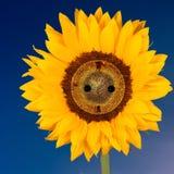 与插口正方形格式的向日葵 免版税库存图片