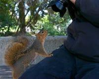 与摄影师的狂放的灰鼠非常温驯的看的照相机 免版税图库摄影