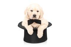 与摆在一顶高顶丝质礼帽的蝶形领结的逗人喜爱的小狗 库存照片