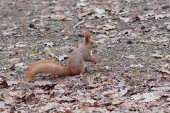 与摆在公园的可怕面孔的滑稽的红松鼠 免版税库存照片