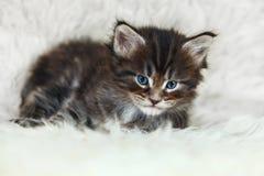 与摆在白色backgroun的蓝眼睛的小缅因浣熊小猫 免版税库存图片