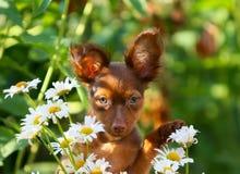 与摆在街道上的白花的被举的耳朵的一只逗人喜爱的小狗 红发滑稽的狗的画象在chamomi背景的  库存图片