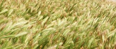 与摇摆在风的种子的大网茅草 免版税库存照片