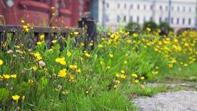 与摇摆在风的黄色花的绿草 股票视频