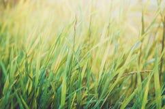 与摘要的新健康绿色生物草背景弄脏了叶子,明亮的夏天阳光 您的文本的Copyspace 库存图片