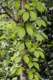 与攀登植物的树干 图库摄影