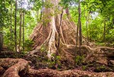 与支柱根的雨林树 库存图片