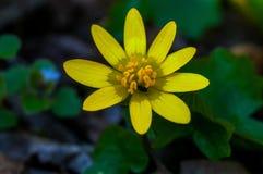 与收获花粉的一只小昆虫的黄色花在森林里 免版税库存照片