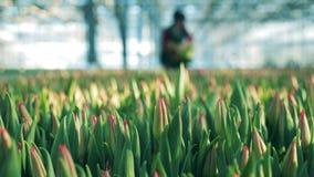 与收集在绿叶的妇女的Unblown郁金香花 股票视频