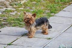 与收集的橡皮筋头发的幼小逗人喜爱的红头发人母狗约克夏狗在他的头 免版税库存照片