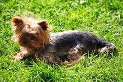 与收集的橡皮筋头发的幼小逗人喜爱的红头发人母狗约克夏狗在他的头 免版税库存图片