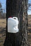 与收集糖浆的水罐的糖槭树树汁 库存图片