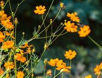 与收集花粉的一只大蜂的橙色法国万寿菊 免版税库存图片