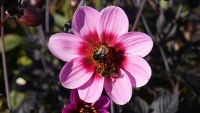 与收集花粉的蜂的桃红色花 免版税库存照片