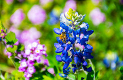 与收集花粉的蜂蜜蜂的奥斯汀矢车菊在明亮的春天天在中央得克萨斯 免版税库存图片