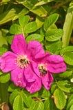 与收集花蜜的两只蜂蜜蜂的野生玫瑰 库存照片