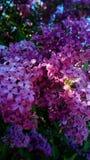 与收集蜂蜜-传染媒介的蜂的淡紫色花 免版税图库摄影