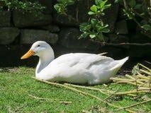 与放松在阳光下的橙色额嘴的白色坎伯鸭子 库存照片