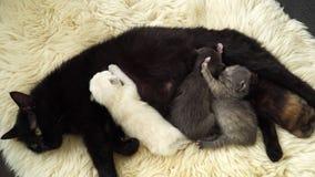 与放置在绵羊毛皮的妈妈的小的逗人喜爱的新出生的小猫 关闭 4K 影视素材