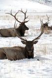 与放置在雪的大鹿角的两只大公牛麋 免版税库存图片