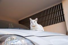 与放置黎明的橙色衣领的白色和橙色猫在汽车 猫是与软的毛皮的一只小被驯化的肉食哺乳动物 免版税库存照片