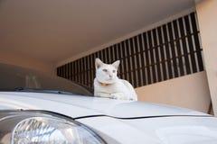 与放置黎明的橙色衣领的白色和橙色猫在汽车 猫是与软的毛皮的一只小被驯化的肉食哺乳动物 免版税库存图片