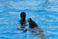 """与教练员一起的聪明的海豚""""sings† 库存图片"""
