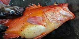 与敞开的嘴的鱼 库存图片