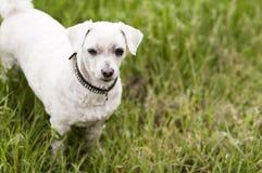 与散布的衣领的小白色狗 库存照片