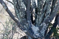与斑点的树在Cradock 库存照片