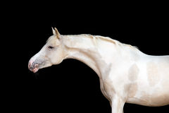 与斑点的白色小马在黑背景 库存照片