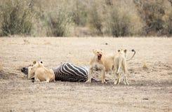 与斑马杀害的三只雌狮 免版税库存照片
