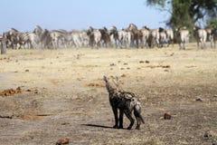 与斑马的被察觉的鬣狗 免版税库存图片