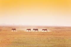 与斑马走的牧群的非洲风景  免版税库存图片