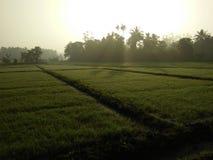 与斯里兰卡的稻田的美好的日出 库存图片