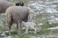 与新出生她的羊羔的绵羊 免版税库存图片