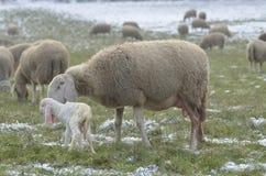 与新出生她的羊羔的绵羊 免版税库存照片