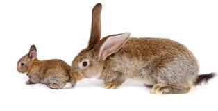 与新出生的兔宝宝的母亲兔子 免版税库存图片