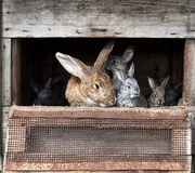 与新出生的兔宝宝的母亲兔子 库存照片