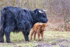 与新出生的小牛的黑苏格兰高地居民母亲母牛 库存照片