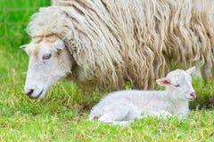 与新出生的羊羔的白羊在春天 库存照片