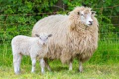 与新出生的羊羔的白色母亲绵羊 库存图片