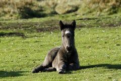 与新出生的驹的小马 免版税库存照片