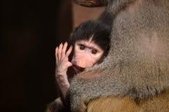 与新出生的年轻人的狒狒 免版税图库摄影