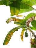 与新和干自然叶子和gre的热带香蕉树 库存图片