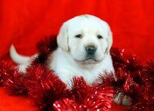 与新年度(圣诞节)玩具的黄色拉布拉多小狗 库存图片
