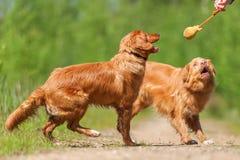 与新斯科舍鸭子敲的猎犬的人戏剧 免版税库存照片