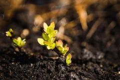与新的叶子的伏牛花灌木在庭院里 免版税库存图片